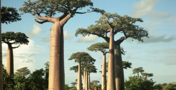 The largest and oldest African baobabs are dying