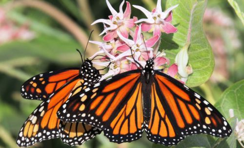 Declining monarch-butterfly populations may be hard to restore