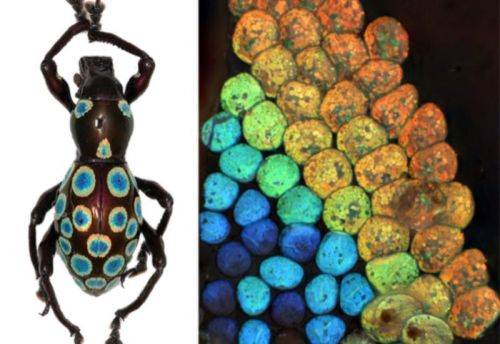 """Rainbow"" weevil could hold the secret to generating nature's colors in the lab"