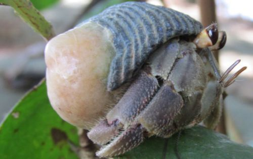 Hermit crabs evolved longer penises to keep their shells from being stolen