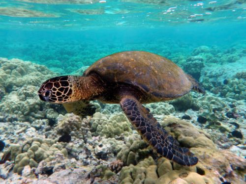 Some Great Barrier Reef turtle populations produce nothing but females