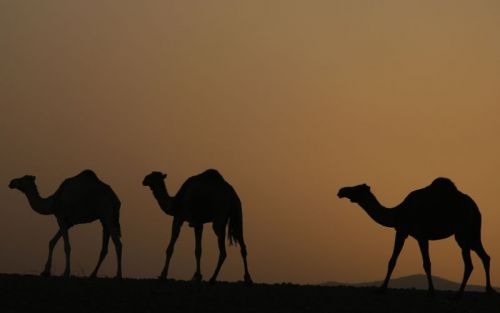 Mad camel disease? Researchers discover new prion disease spreading in Africa