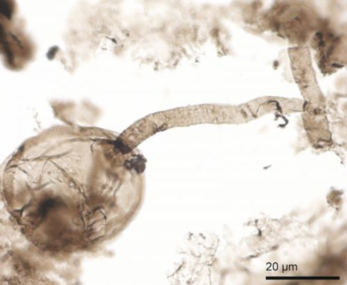 Billion-year-old fossils may be early fungus