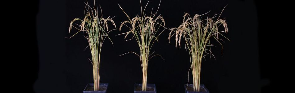 Researchers Find That Adding Human Genes To Crops Can Boost Yields By 50%