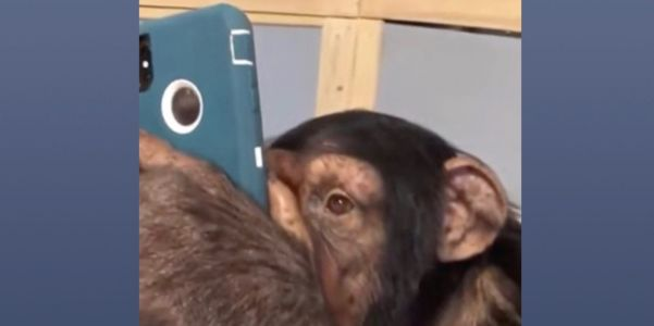 Chimpanzee browsing Instagram on iPhone with precision goes viral